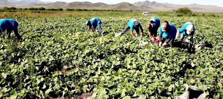 Говь-Алтай аймгийн ургац хураалтын явцын мэдээ